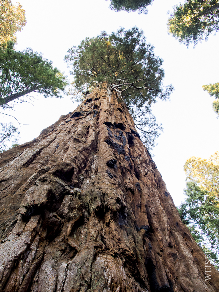 Looming a several hundred feet in the air, the great Sequoia is the king amongst the forest.