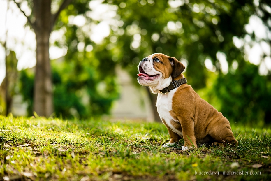 irvine-pet-photography-english-bulldog-puppy-_0002