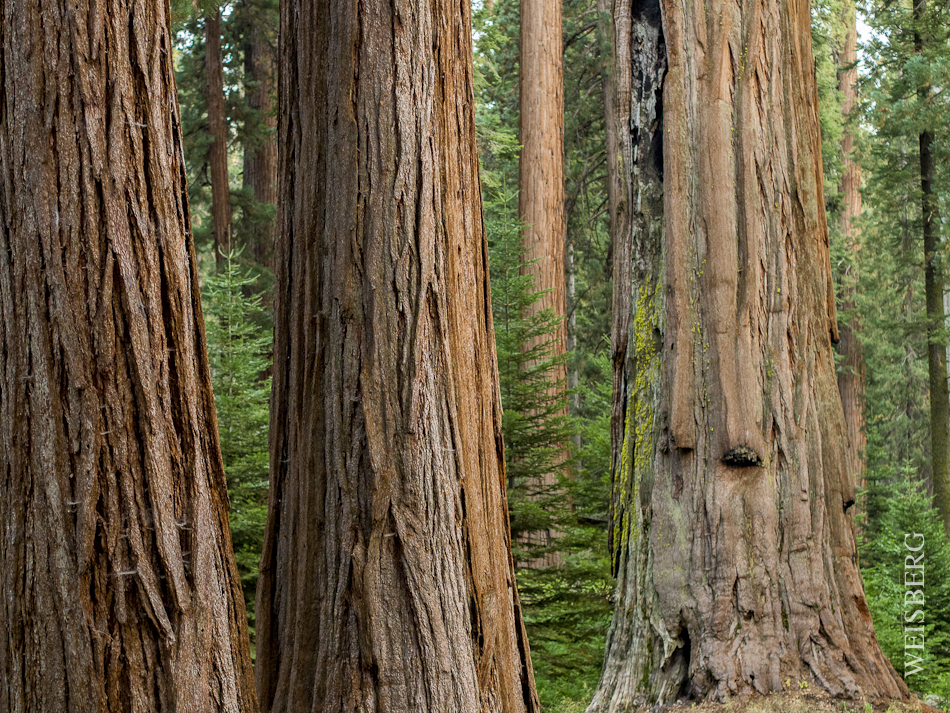 Portrait of a Sequoia tree