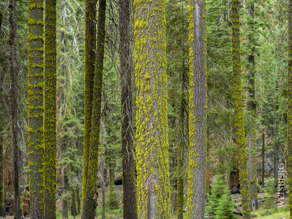 Portrait of Sequoia National Forest, bathed in green moss.