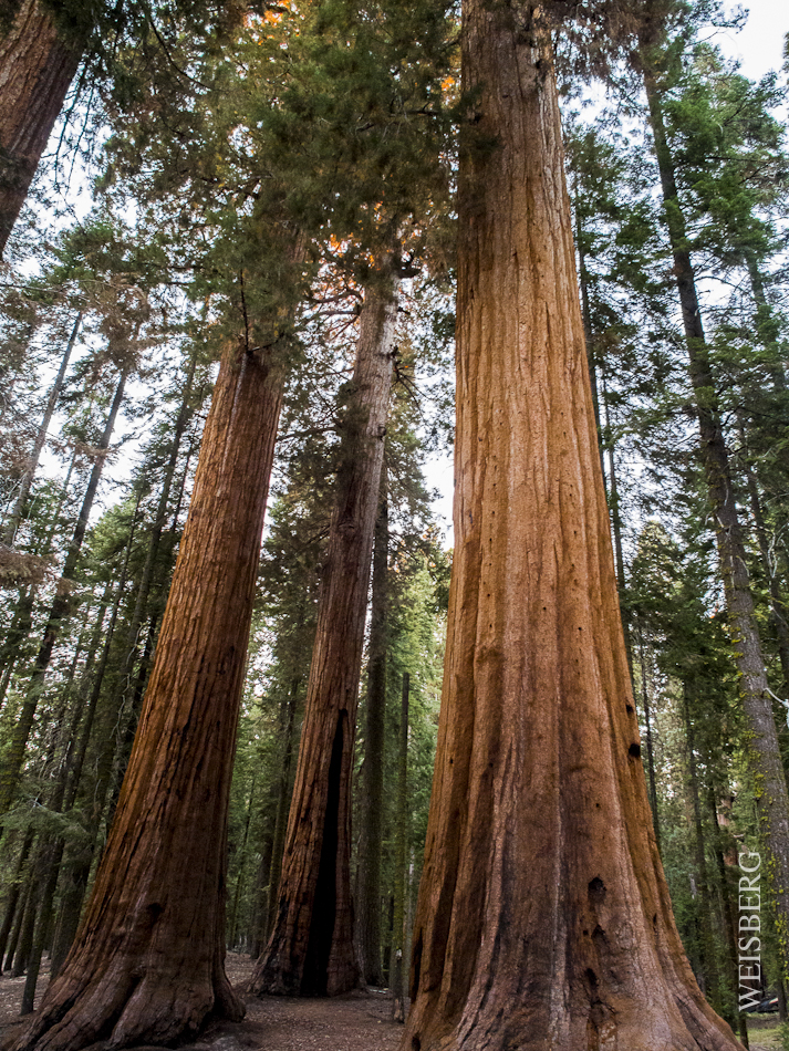 A stand of giant Sequoia trees. Sequoia Natl. Park.