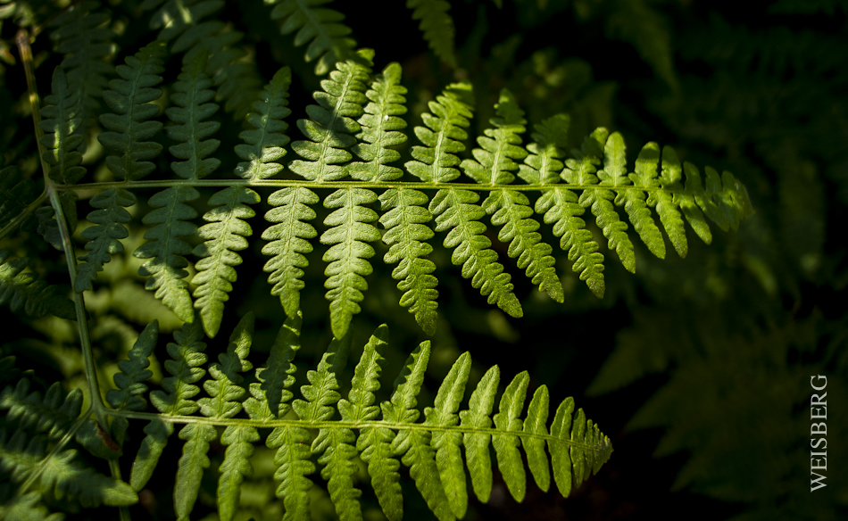Ferns, near Crescent Meadow, Sequoia National Park.