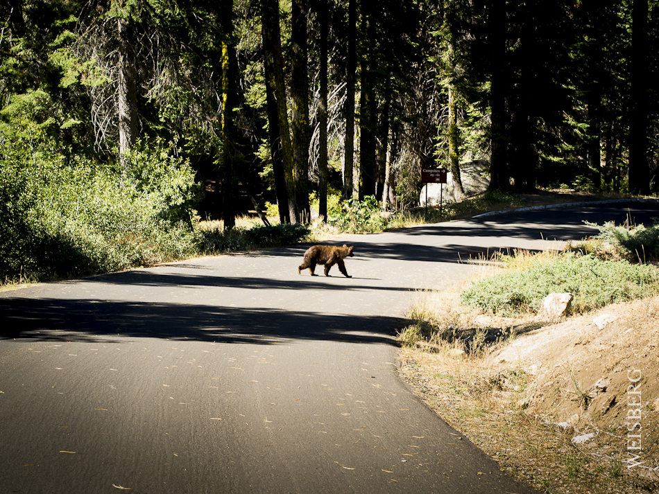 Wild black bear in Dorst Campgrounds. Sequoia National Park