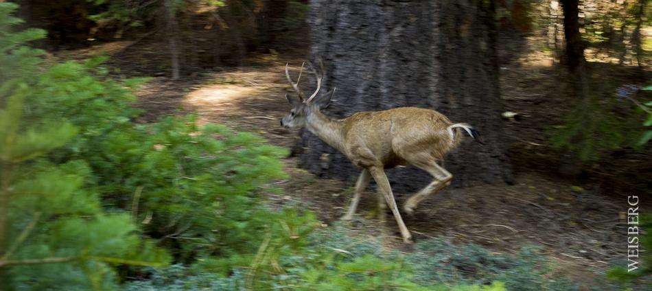 Dear on the run, Sequoia National Park.