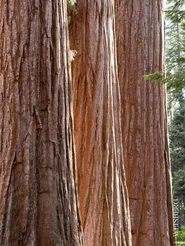 Sequoia trunks. Sequoia National Park.