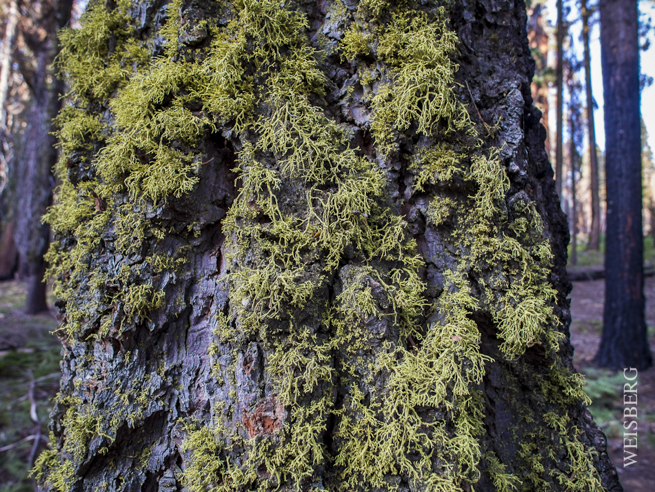 Close up of moss in Sequoia National Forest.
