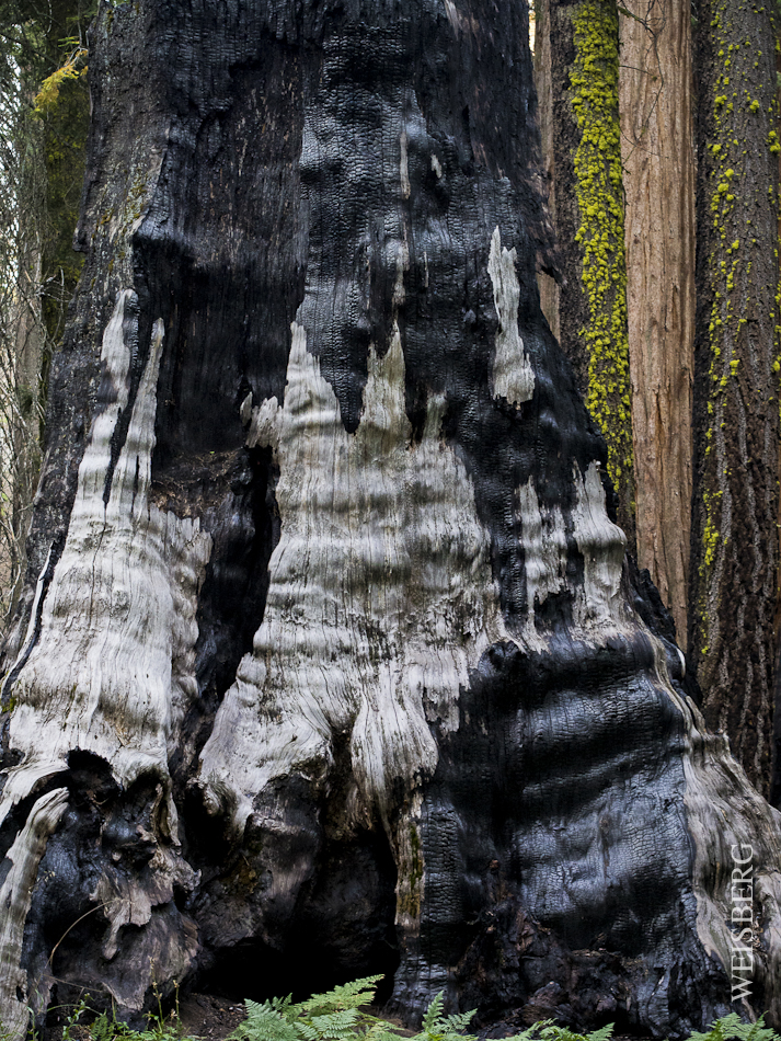 Sequoia ravaged by fire.