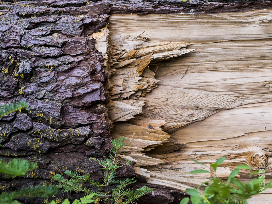 Fallen Redwood tree, Sequoia National Park.