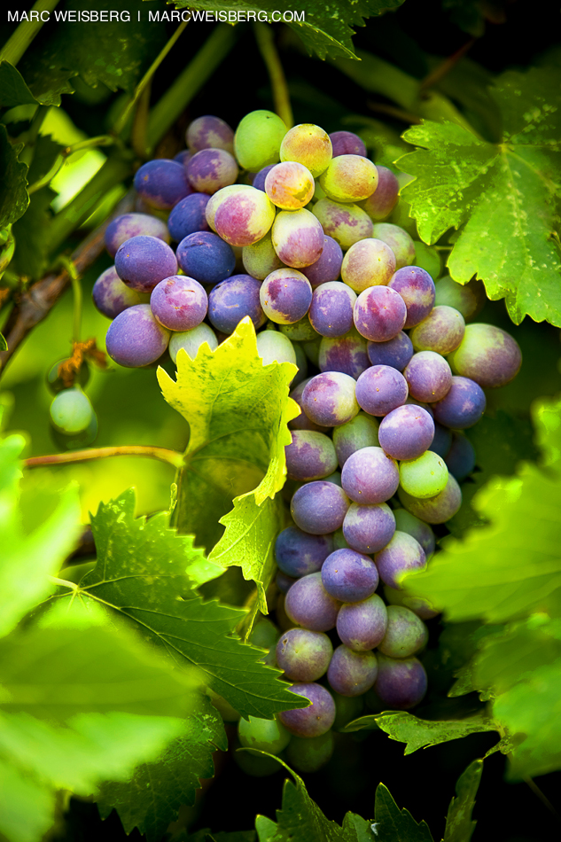 concord grapes on vine food photographer