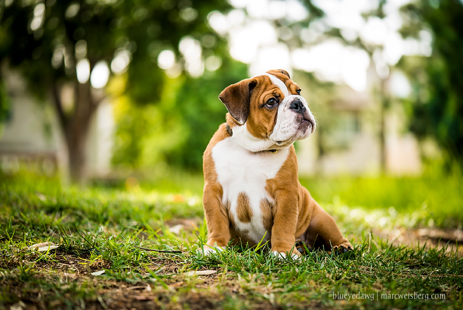 irvine-pet-photography-english-bulldog-puppy-_0008