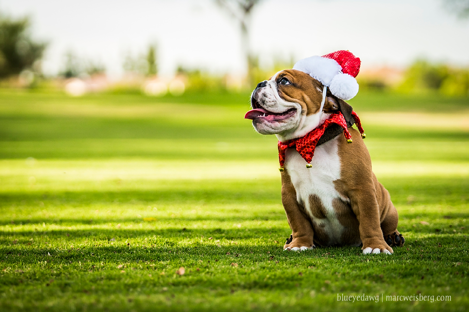 irvine-pet-photography-english-bulldog-puppy-_0018