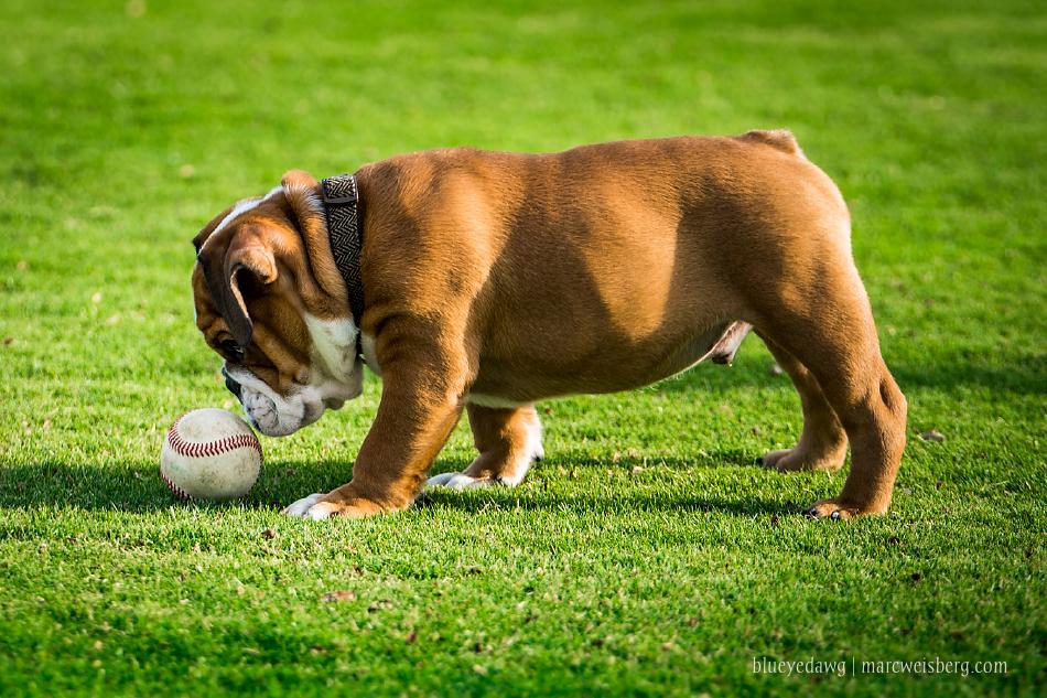 irvine-pet-photography-english-bulldog-puppy-_0019